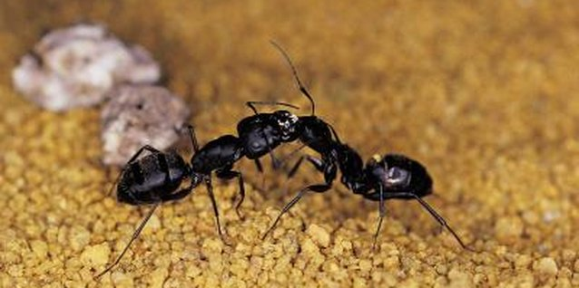 Ants are an annoying pest, but they are not usually destructive to your home or plants.