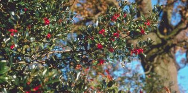 Holly Tree Pests