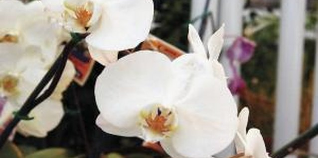 Phalaenopsis orchids and other air plants eventually attach to wooden plaques without support.