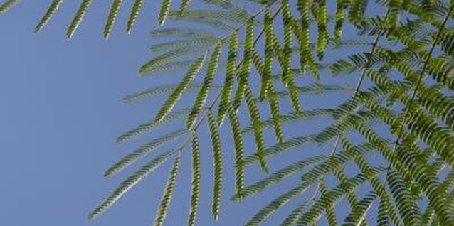 The fern-like leaves of mimosa trees curl in the evening.