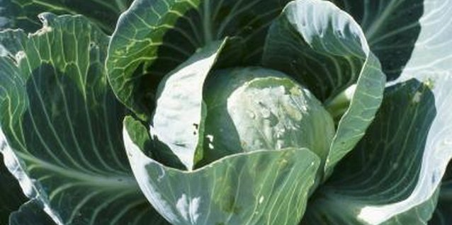 Bolting is a common problem for biennials like cabbage.