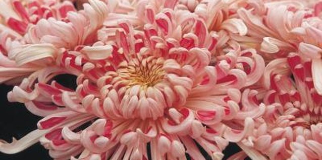 Guide to Hardening Off Dahlias