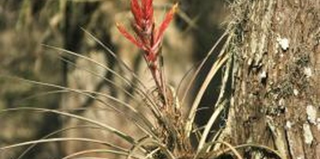 Many bromeliads naturally grow on other plants.