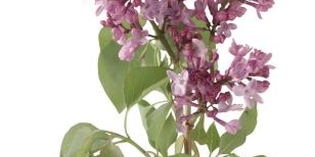 Use one of three propagation techniques to clone your lilacs.