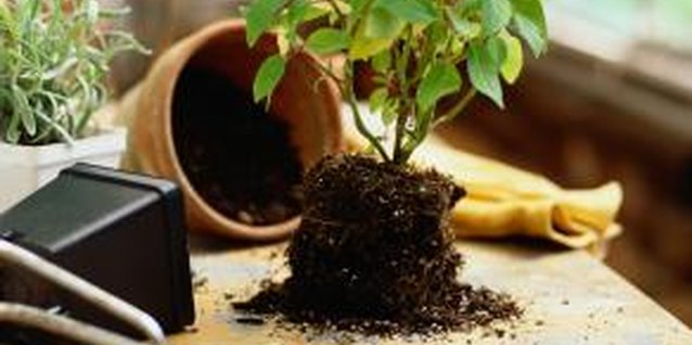 Potted plants need regular moves into larger accommodations as they grow.