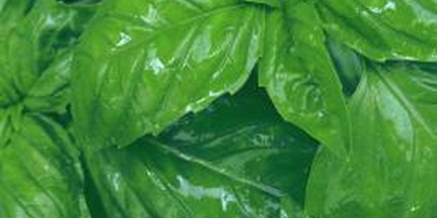 Aphids and whiteflies often infest basil plants when there are few natural predators.
