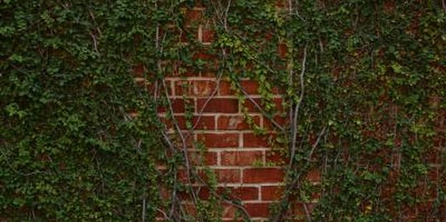 How to Propagate Climbing Ivy