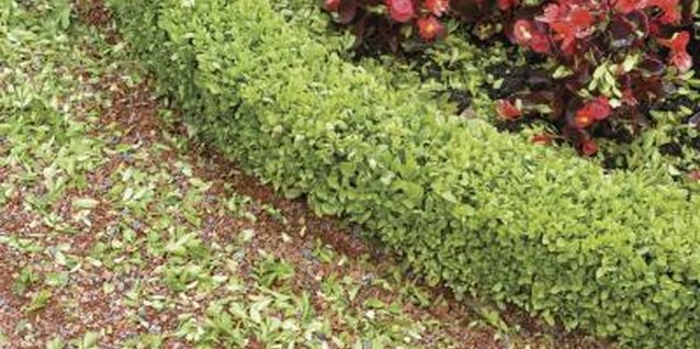 Boxwoods are a classic hedging plant in formal gardens.