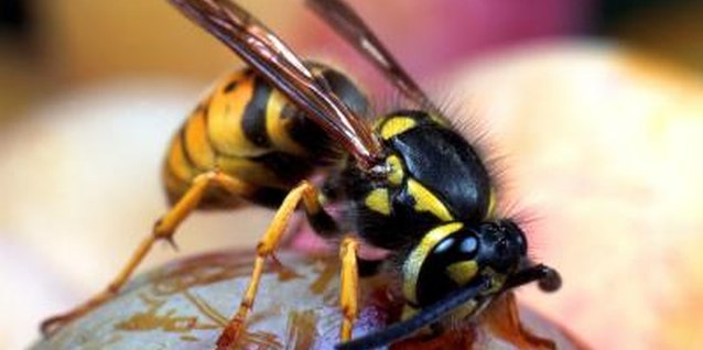 How to Kill Yellow Jackets in a Flower Bed