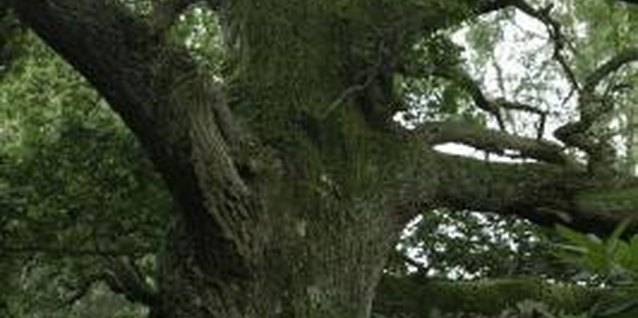 Healthy oak trees can live for hundreds of years.