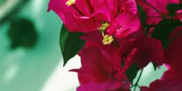 Bougainvillea comes in a variety of colors, including red, pink, white, yellow and orange.