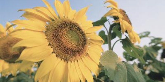 Sunflowers brighten gardens with their dramatic color and size.