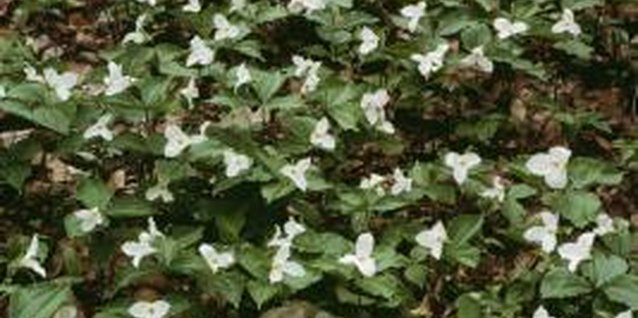 Trillium prefers dappled shade and can cover a large area over time.