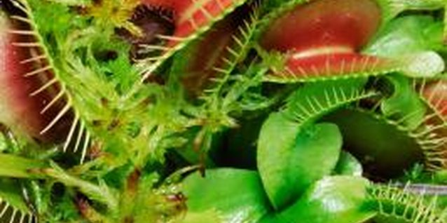 Flytraps need plenty of moisture to grow.