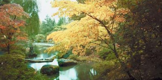 Japanese maples bring serenity to their surroundings.