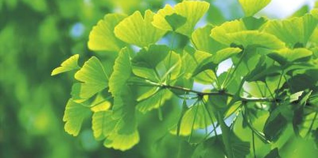 "Ginkgo trees belong to a classification of trees known as ""Gymnosperms,"" which translates to ""naked seed"" in Greek."