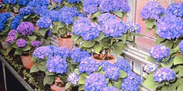 Certain hydrangeas will flower in pots with the proper care.