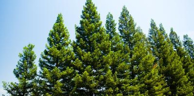 Most pine trees live between 100 and 1,000 years.