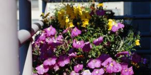 Petunias are well suited for containers.