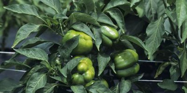 Green peppers thrive when fed with the right organic fertilizers.