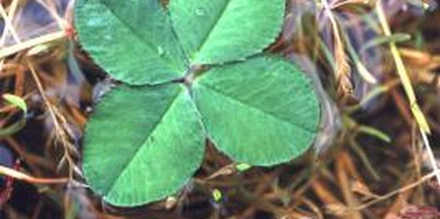 Clover is easily established by broadcasting seed.