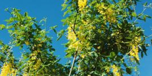 Golden chain tree flower clusters reach up to 24 inches in length.