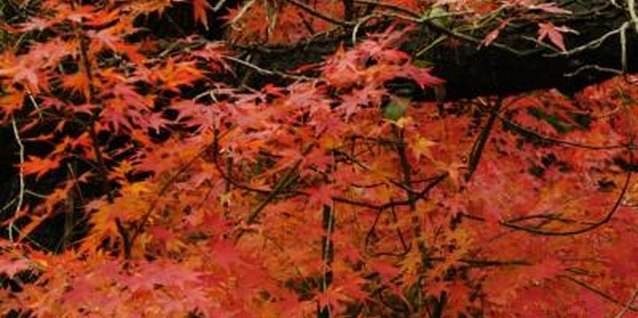 Japanese maple foliage grows in a range of colors, from clear yellow to almost black.