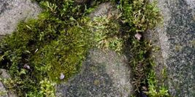 Scotch moss is a perfect filler for cracks between walkway stones.