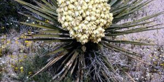 Yucca is hardy but still contends with a few pests.