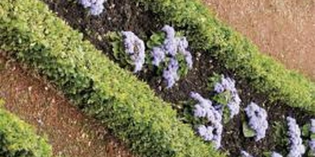 Boxwood is often used as an edging in formal gardens.