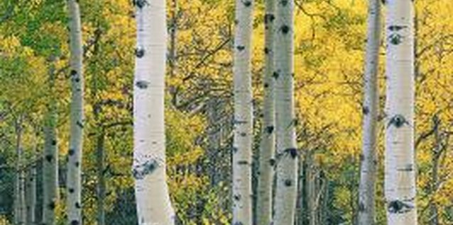 The Best Way to Prep Aspen Trees for Spring & Summer