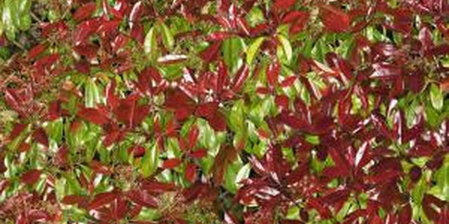Photinias are versatile plants used for hedging and windbreaks.