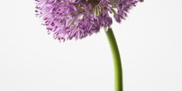 Deadheaded ornamental onion flowers add color to dried plant arrangements.