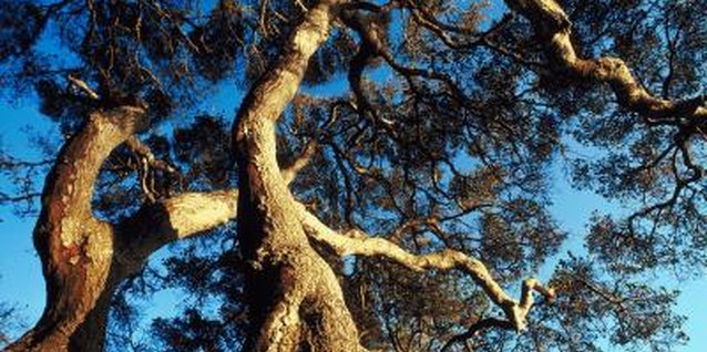 Live oak trees have strong, sweeping branches and a distinctive shape.