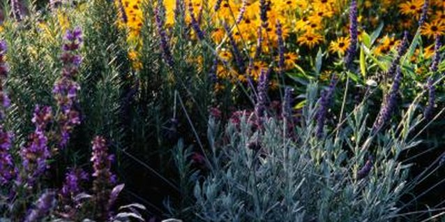 How to Get Rid of Lavender in Your Lawn