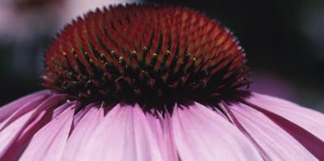 How to Grow Coneflowers From Cuttings