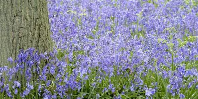 How to Kill Common Violet Weeds in a Lawn