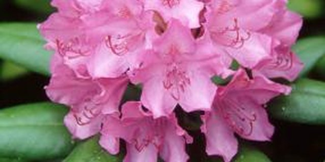 Rhododendrons bloom with large, colorful flowers.