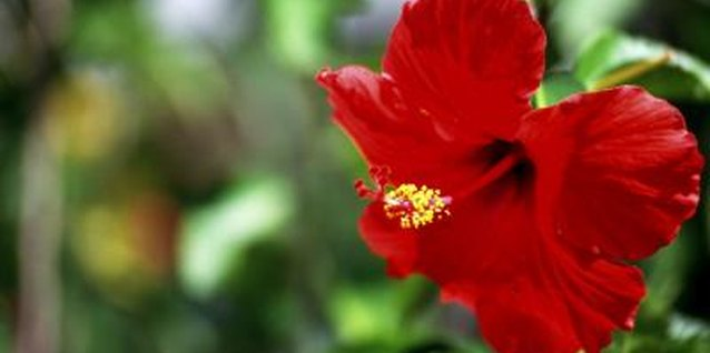 Hibiscus is a repeat bloomer, but each flower lasts only a day.