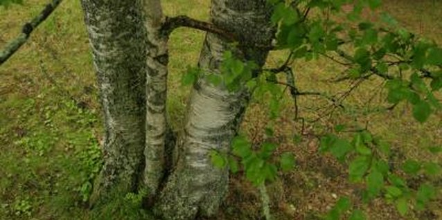 A variety of tree leaves increase the acid level in soil when they break down.