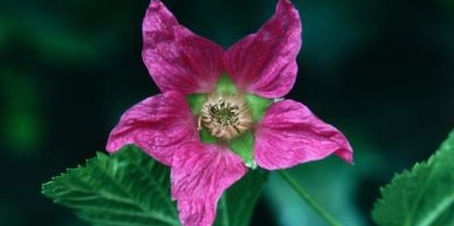 Salmonberry shrubs add delicate color in spring with bright pink blossoms.