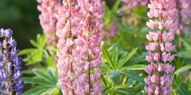 Lupines put on a dramatic floral display each spring and summer.