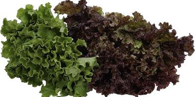 Lettuce grows in cool spring or fall weather.