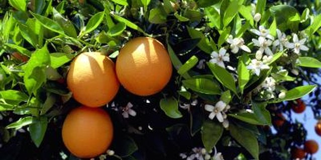 Propagation through cuttings ensures the oranges match the parent tree's fruit.