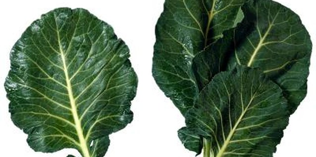 Collards can be damaged by diseases, worms and other pests.