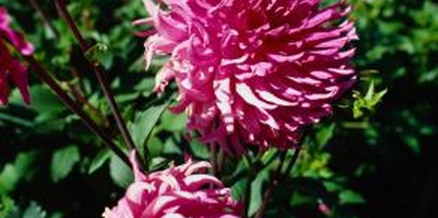 Check your chrysanthemums regularly for disease symptoms.