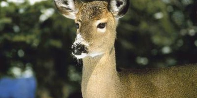 Can You Use Blood Meal to Repel Deer From Eating Plants?