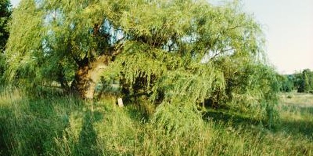 Willow trees grow best in moist soil.