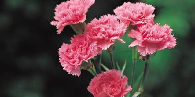Carnations are favorites in bouquets and boutonnieres.