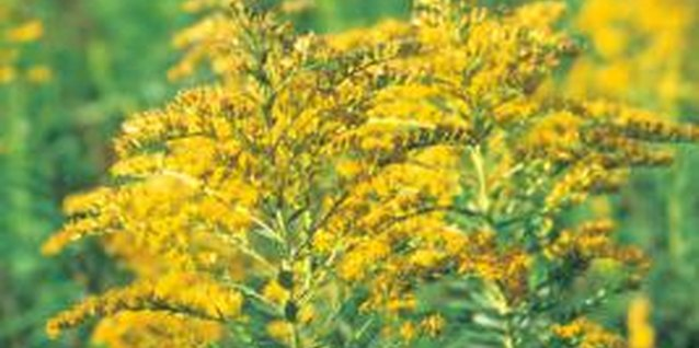 Goldenrod is native to North America.